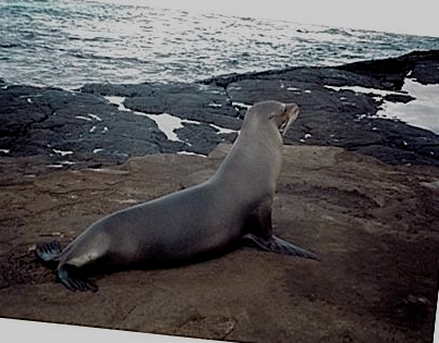 Sea Lion A