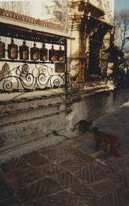 Nepal monkeys