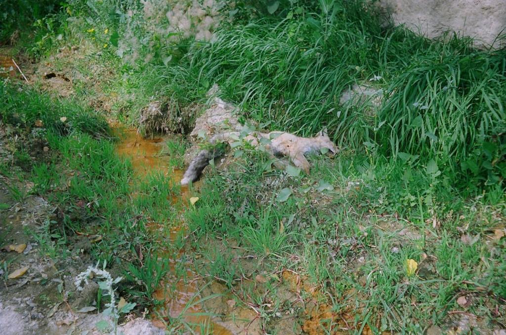 Dead white fox