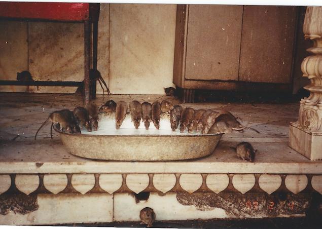 rat bowl