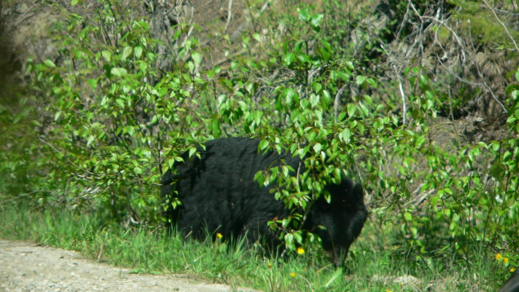 Bear in British Columbia