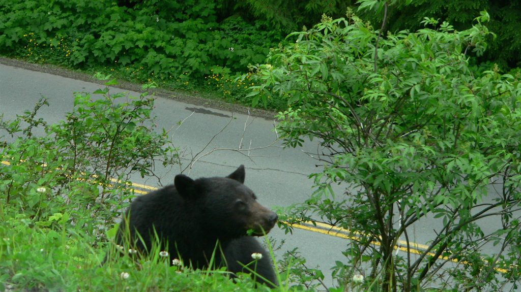 Bear in Vancouver