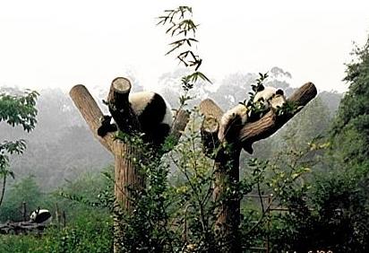 Panda D